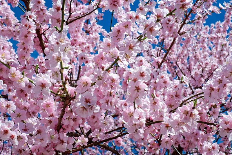 Viaggio in Albania, Dita e Veres fioritura cigliegi